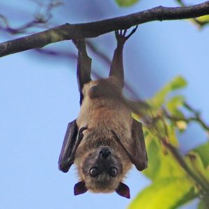 Sulawesi flying fox