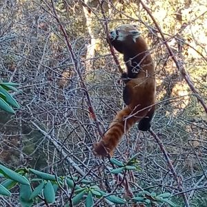 First ever red panda seen in westernmost range