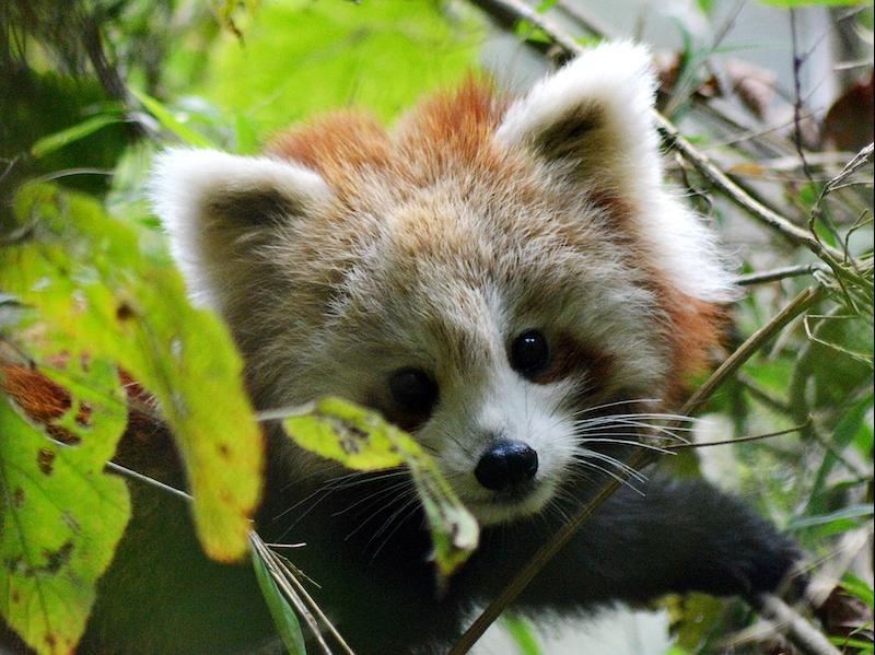 Red panda cub spotted at Dobate (photo: Rajiv Paudel)