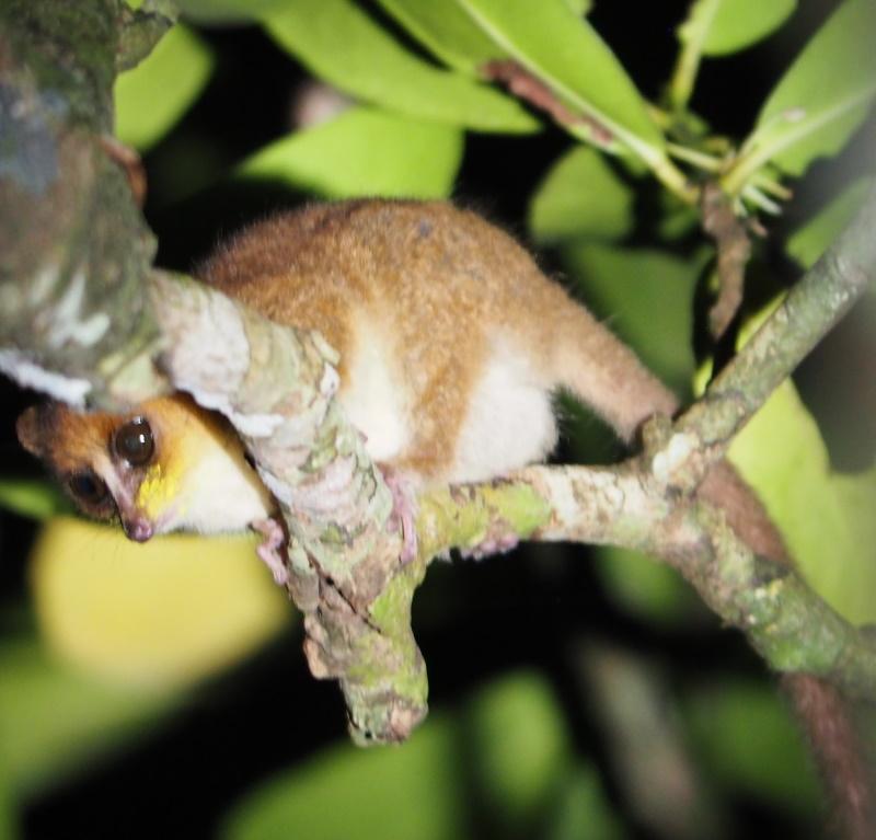 Mouse lemur