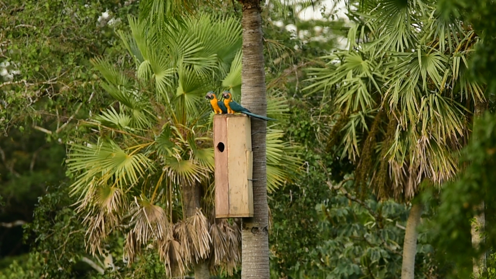 Blue-throated macaws atop nest box at Laney Rickman reserve