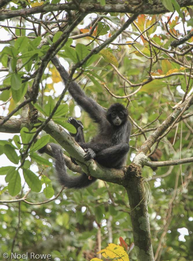 The critically endangered Colombian spider monkey (a subspecies of the Black-headed spider monkey) - Cerro Chucantí.