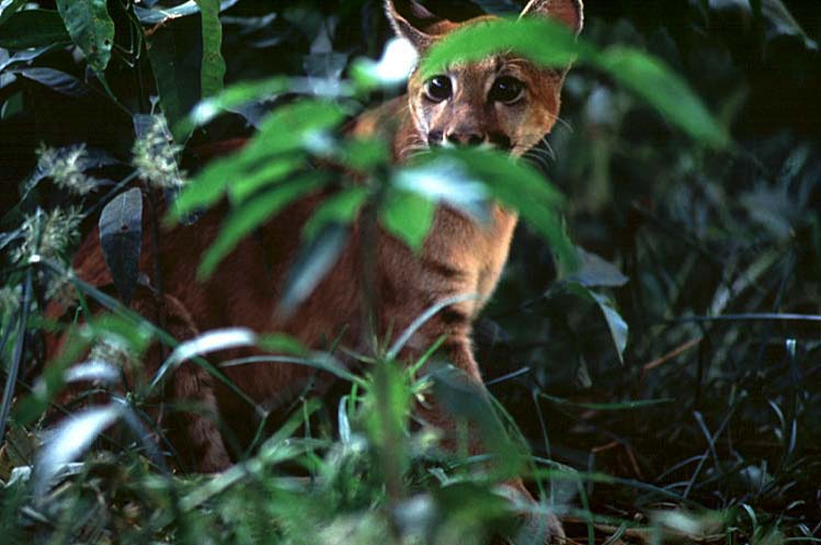 Young puma.  photo: Amazon Conservation Association