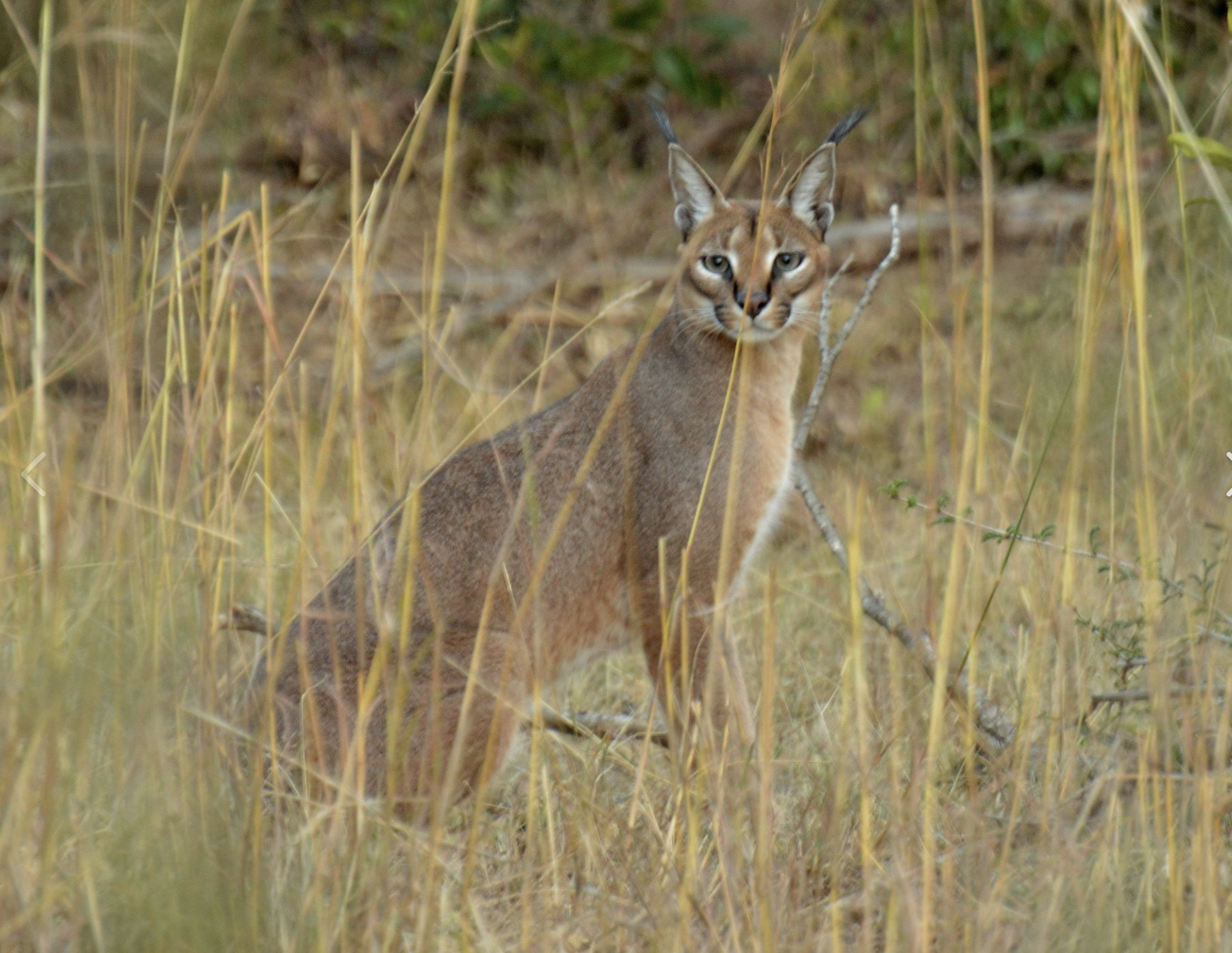 The caracal preys upon small mammals, birds and rodents and can leap higher than 3 metres and catch birds in mid-air