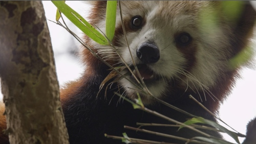 Feeding red panda.  photo: Axel Gebauer