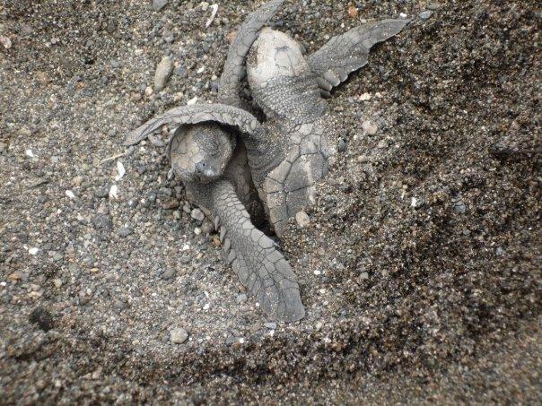 Baby turtles emerging.  photo: Candra Schank