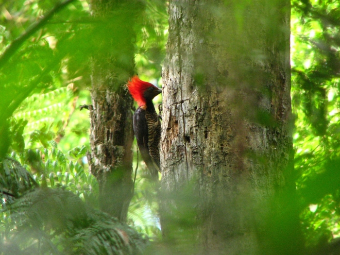 The Helmeted Woodpecker is one of the beneficiaries of this project. photo: Luis Pagano