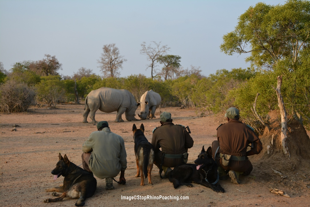 Rangers observing a pair of white rhinos. The species is designated as Near Threatened. Photo: Stop Rhino Poaching