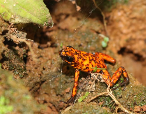 <i>Oophaga sylvatica</i> (Little Devil Poison Frog) at Río Canandé Reserve.  Credit Martin Schaefer