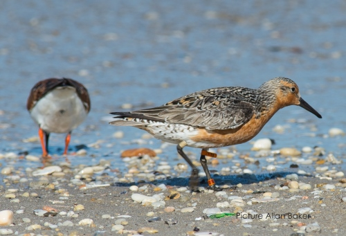Red Knot  (photo: Allan Baker)