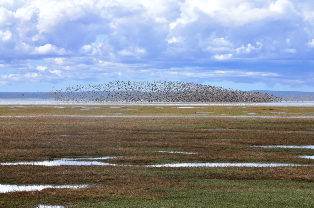 Shorebirds at Bahia Lomas, Chile  (photo: Luis Benegas)