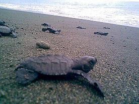 Baby sea turtles make their way to the sea.  photo: AlTo
